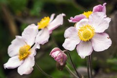 Japanese anemone Anemone hupehensis flower. Pink garden plant in the family Ranunculaceae, aka Chinese anemone, thimbleweed or w. Indflower. Poppy anemones on Stock Images