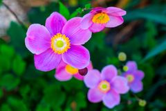 Japanese anemone Anemone hupehensis flower. Pink garden plant in the family Ranunculaceae, aka Chinese anemone, thimbleweed or win. Dflower royalty free stock photos