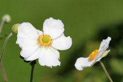 Japanese anemone or Anemone hupehensis flowering plant with flowers containing white sepals and prominent yellow stamens turned. Japanese anemone or Anemone stock photo