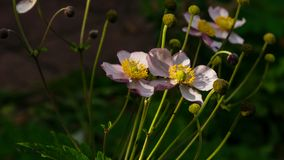 Japanese Anemone, Anemone hupehensis, flowers at flowerbed close-up, selective focus, shallow DOF. Japanese Anemone Anemone hupehensis flowers at flowerbed close stock photo