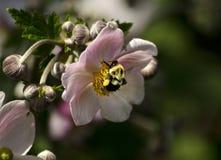 Japanese anemone Stock Images