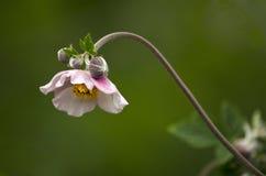 Japanese anemone Stock Photography