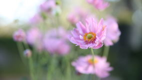 Japanese anemone Royalty Free Stock Photo