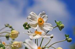 Japanese anemone Royalty Free Stock Image