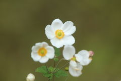 Japanese anemone Royalty Free Stock Photo