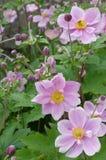 Japanese Anemone portrait Royalty Free Stock Image