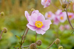 Japanese Anemone. Selective focus on blooming Japanese Anemone flowers Royalty Free Stock Photos