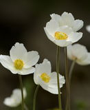 Japanese anemone, thimbleweed or windflower, a. Stock Photo