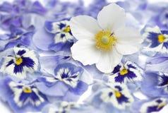 Japanese anemone, windflower in bloom, purple pansies as  bac Royalty Free Stock Image
