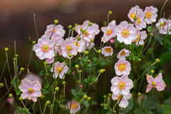 Japanese Anemone Windflower flowers in pink with yellow stamen Stock Image