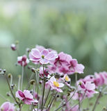 Japanese Anemone (windflower) Royalty Free Stock Photos