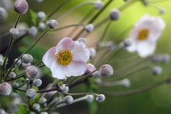 Japanese anemones Stock Photography
