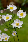 Japanese Anenome Stock Images