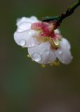 Japanese apricot blossom Royalty Free Stock Image