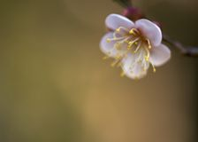Japanese apricot blossom Royalty Free Stock Images