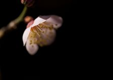 Japanese apricot blossom Royalty Free Stock Photography