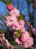 Japanese apricot blossoms Stock Images
