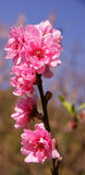 Japanese apricot flower Royalty Free Stock Image