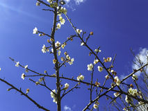 Japanese Apricot fruit. With blue sky royalty free stock photo