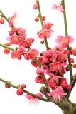 Japanese apricot with red blossoms stock photos