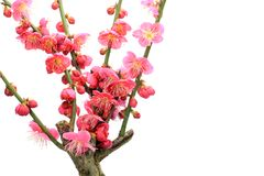 Japanese apricot with red blossoms Royalty Free Stock Images