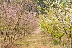 Japanese apricot tree Stock Photos