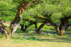 Japanese apricot tree Stock Images