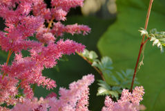 Japanese Astilbe `Rheinland`. Close-up on a pink Japanese Astilbe `Rheinland Royalty Free Stock Photo