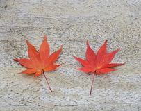 Japanese Red Maple Leaf on wood background Stock Photos