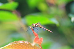 Japanese Autumn darter Stock Photos