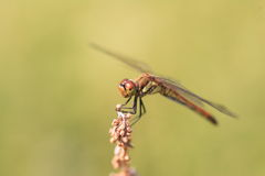 Japanese Autumn darter Stock Photography