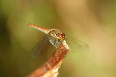 Japanese Autumn darter Stock Photo