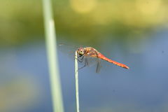 Japanese Autumn darter Royalty Free Stock Photos