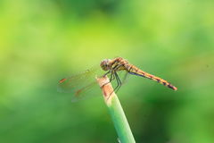 Japanese Autumn darter Stock Image