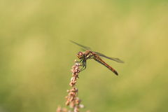 Japanese Autumn darter Royalty Free Stock Images