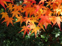 Japanese autumn foliage in Kyoto. Autumn leaves in Kyoto, Beautiful autumn leaves close up Stock Photography