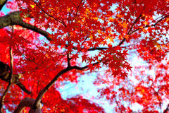 Japanese autumn Royalty Free Stock Image