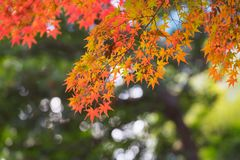 Japanese autumn orange and yellow maple leaves. Trees in autumn, maple leaves are yellow, orange and vivid red colours Stock Photos