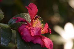 Japanese Azalea in bloom royalty free stock images