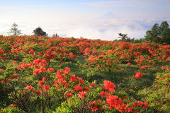 Japanese azalea with Mt. Fuji Royalty Free Stock Photo
