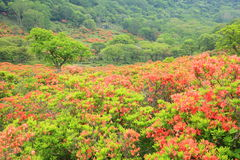 Japanese azalea of plateau Stock Photography