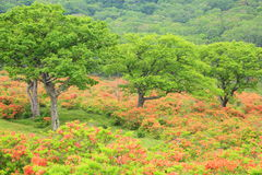 Japanese azalea of plateau Stock Photo