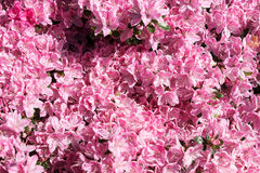 Japanese Azalea, Rhododendron japonicum in spring. In the garden Stock Photography