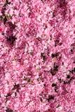 Japanese Azalea, Rhododendron japonicum in spring. In the garden Stock Photo