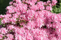 Japanese Azalea, Rhododendron japonicum in spring. In the garden Stock Photos