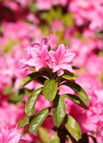 Japanese azaleas Stock Photography