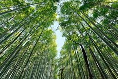 Japanese bamboo forest Stock Images