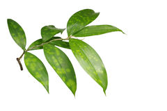 Japanese bamboo plant leaves isolated on white background, clipp Royalty Free Stock Photos