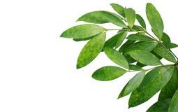 Japanese bamboo plant leaves isolated on white background, clipp Stock Image