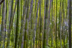 Japanese Bamboo Trees. In a forest Royalty Free Stock Photography